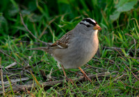 Sparrows, Finches, and Other small birds